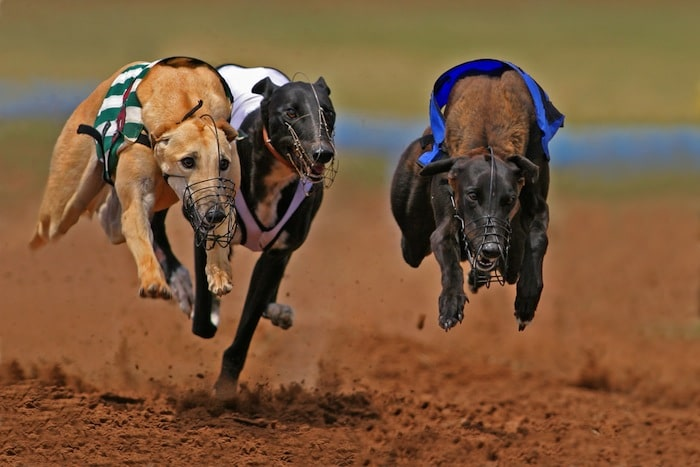 nfl games greyhound racing picks